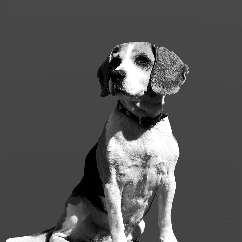 Bilde av Cirka, BRO sin gledesspreder. Cirka er en stilig hund